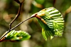 new birth of green: beech